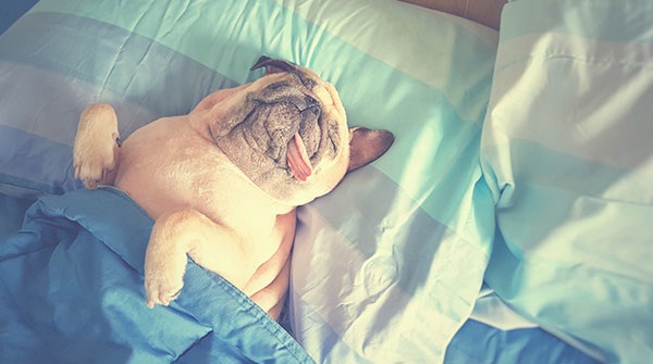 Cute pug dog sleep rest in the bed, wrap with blanket and tongue sticking out in the lazy time - Image