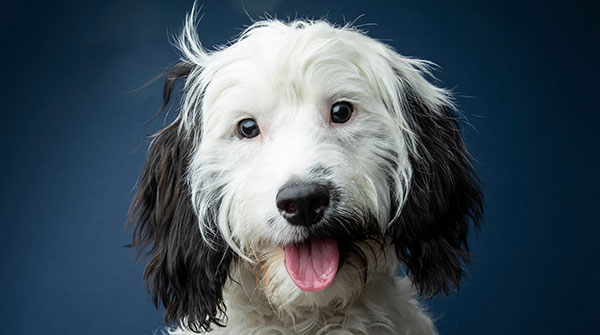 Cute black and white cockapoo on blue background - studio portrait - Image
