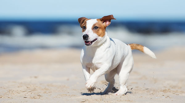 jack russell terrier dog running on a beach - Image