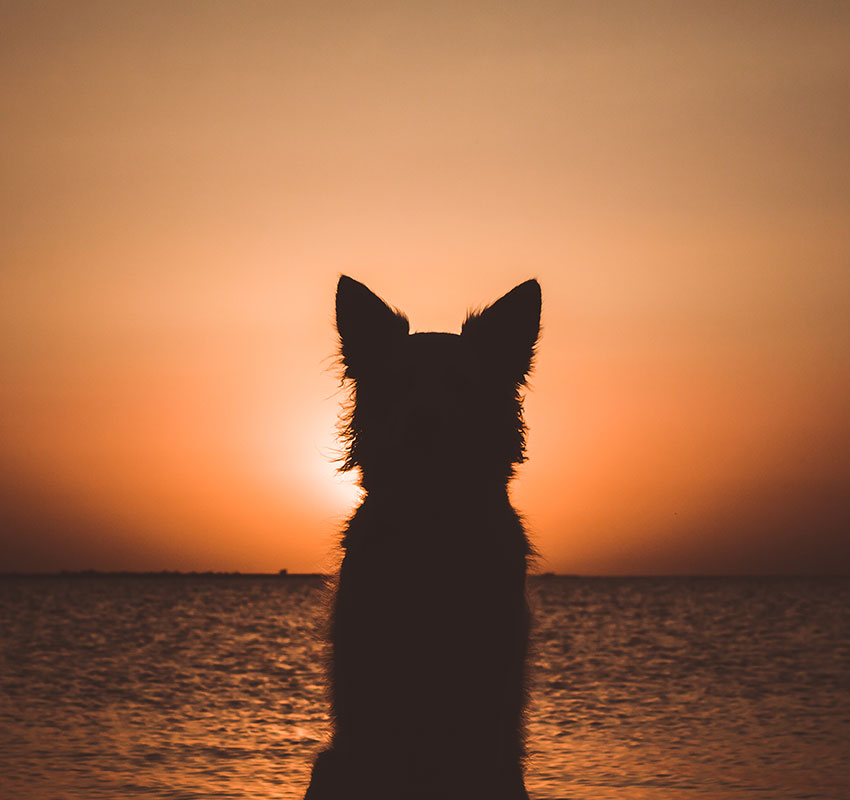 Silhouette of a white berger shepherd dog. Dog sits and looks at beautiful golden sunset (sunrise) near the ocean. Dog sits on the beach near the sea. Backlight. - Image