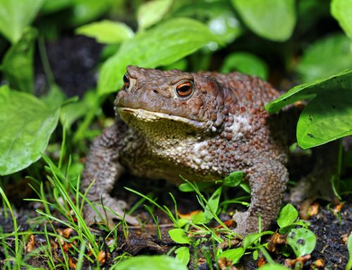 Beware the Bufo: Toxic Toads that Can Kill Your Pet