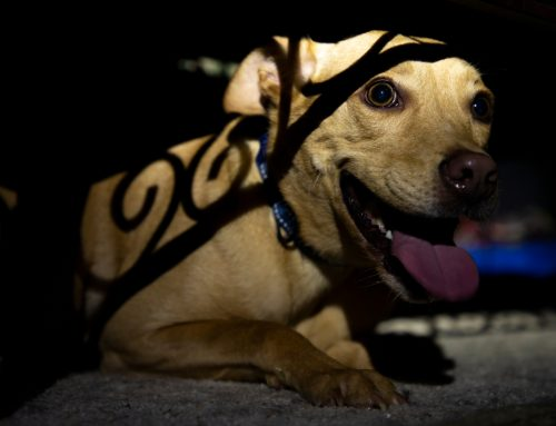 The Sound of Silence: 4 Tips to Ensure Your Pets are Safe this July Fourth